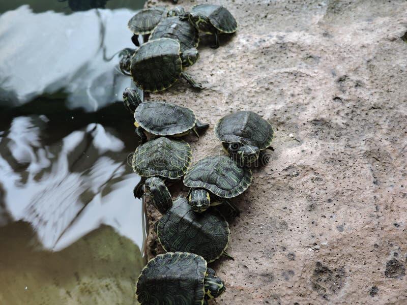Kleine schildpadden zij aan zij royalty-vrije stock afbeelding