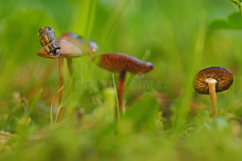 Kleine Schnecke, die entlang Pilz kriecht stockbild