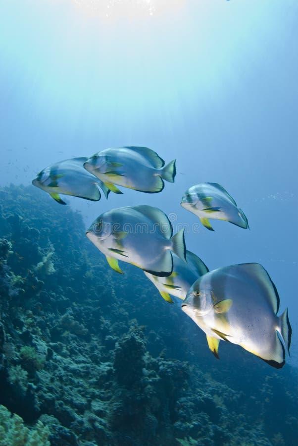 Kleine school van Cirkelbatfish. royalty-vrije stock afbeelding