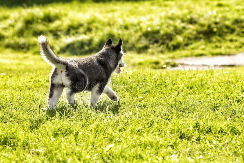 Kleine schor puppy achtermening royalty-vrije stock afbeelding