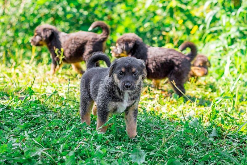 Kleine schwarze Welpen gehen durch das Gras auf einem sonnigen day_ stockfotografie