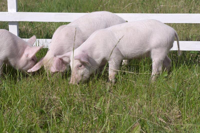 Kleine Schweine stockbilder