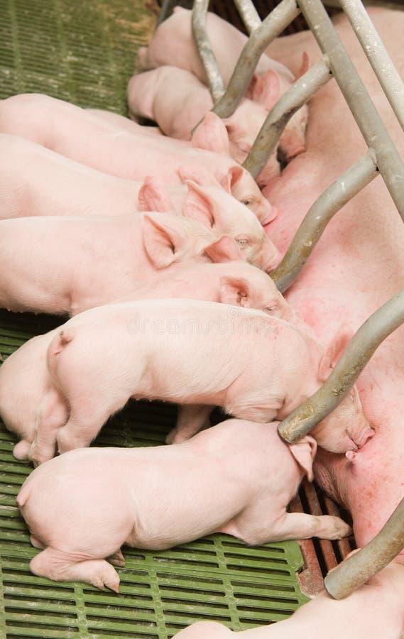 Kleine Schweine lizenzfreies stockbild