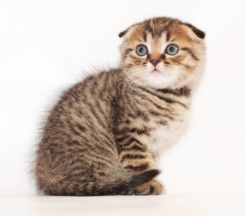 Kleine Scottish Kätzchen der getigerten Katze falten ängstlich sitzen und schauen stockfoto