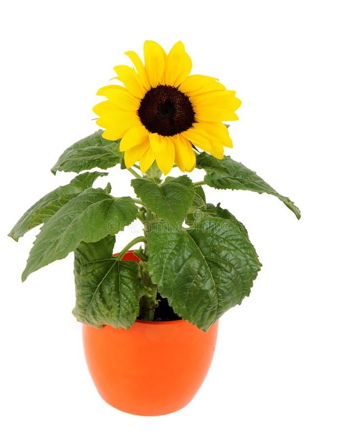 Kleine Sonnenblume in einem Potenziometer stockbilder