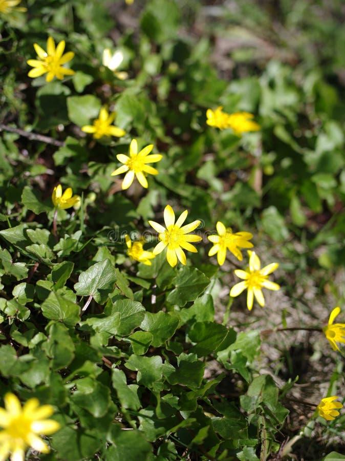 Kleine sonnige Blumen am Feld stockfotos