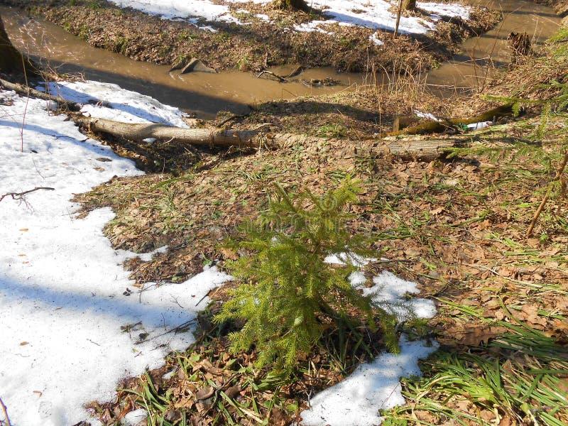 Kleine spar en laatste sneeuw in bos in zonnige dag royalty-vrije stock fotografie
