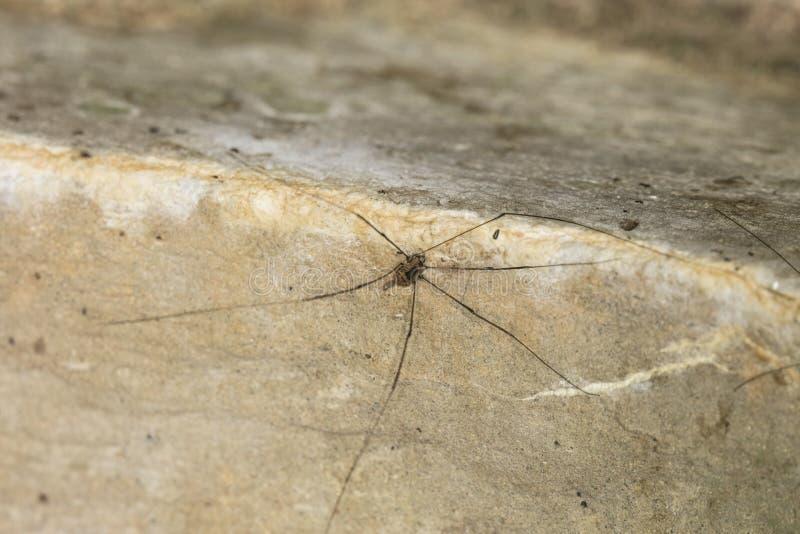 Kleine spin met zeer lange benen stock afbeeldingen