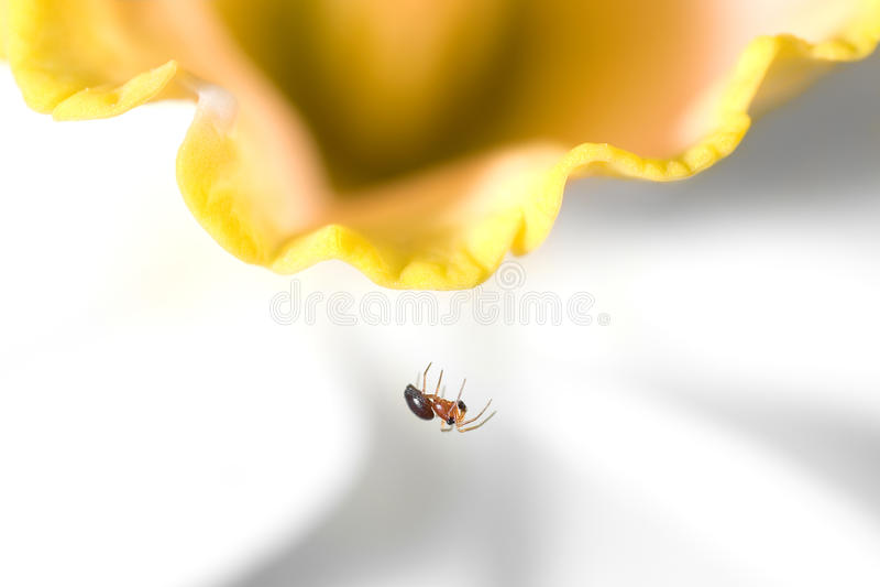 Kleine Spin op Gele narcis royalty-vrije stock foto's