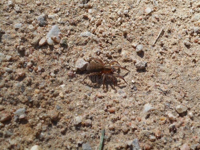 Kleine Spinne im Sand stockfotografie