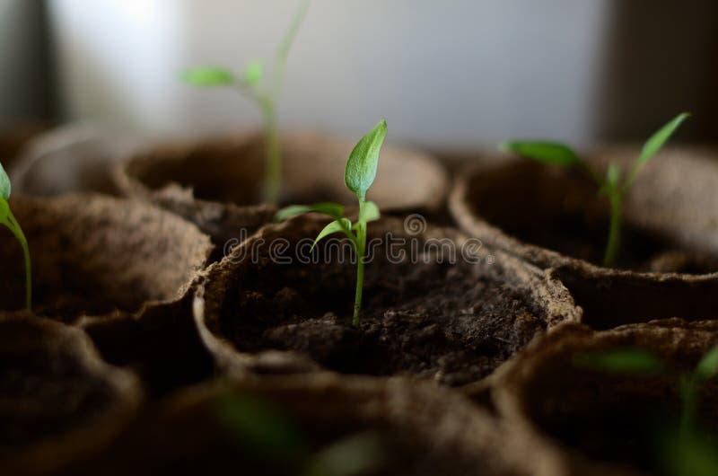Kleine Sprösslinge des bulgarischen Pfeffers in den runden Torftöpfen stockfoto