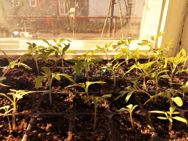 Kleine spruiten van zaailingen op de vensterbank stock foto's