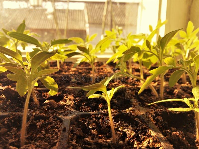 Kleine spruiten van zaailingen op de vensterbank stock foto
