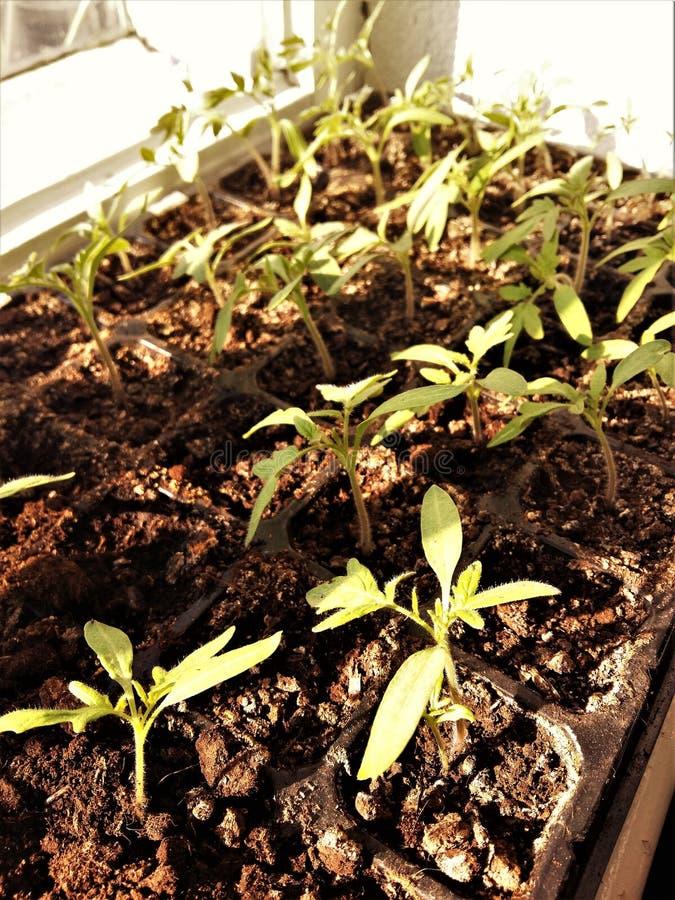 Kleine spruiten van zaailingen op de vensterbank royalty-vrije stock afbeelding