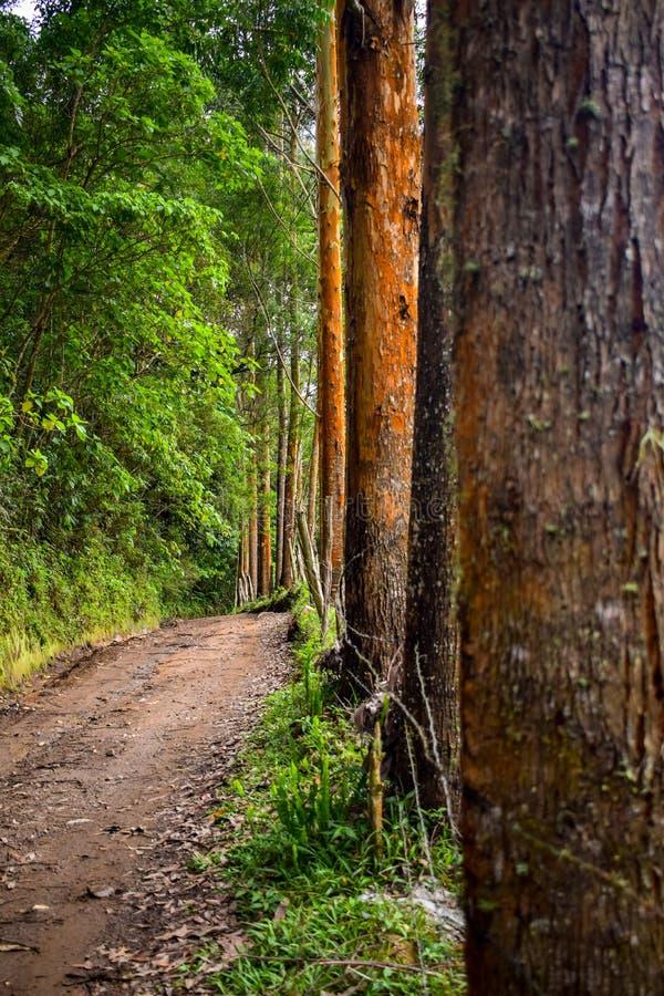 kleine Straße mit Eukalyptusbäumen, die an ihre Länge grenzt stockbild
