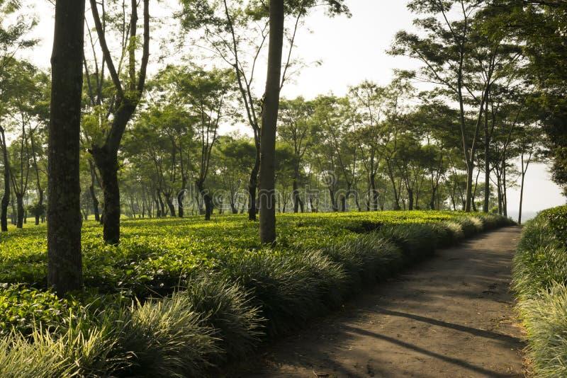 Kleine Straße mitten in der Teeplantage stockbilder