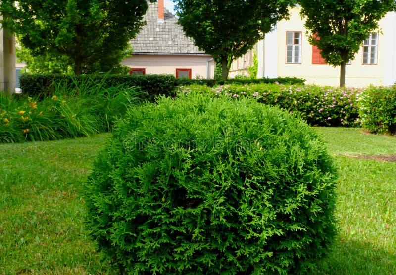 Kleine struik van de Arborvitae de gebied gevormde naaldboom in formele tuin royalty-vrije stock afbeelding