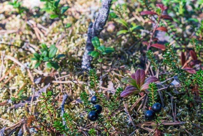 Kleine struiken van cowberry in het bos, Zweden stock afbeelding
