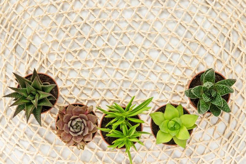 Kleine succulente installaties op natuurlijke netwerkachtergrond royalty-vrije stock foto's