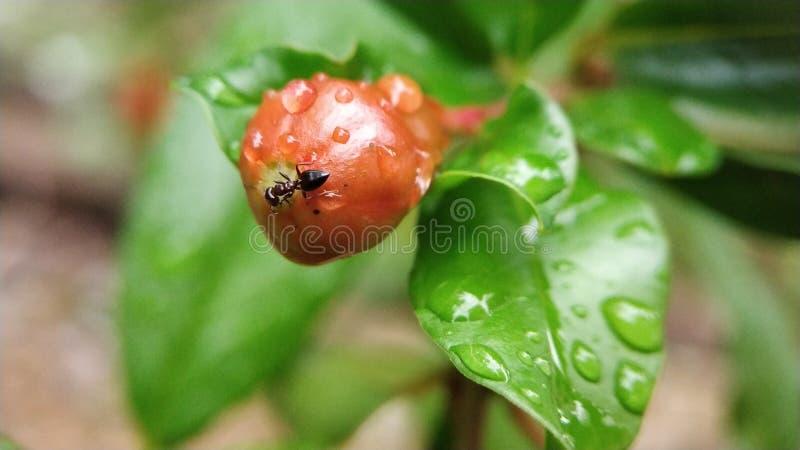Kleine Tischlerameise, die unausgereiften Granatapfel isst lizenzfreies stockbild