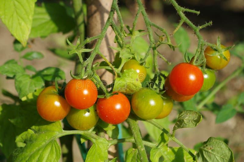 Kleine tomaat royalty-vrije stock afbeelding