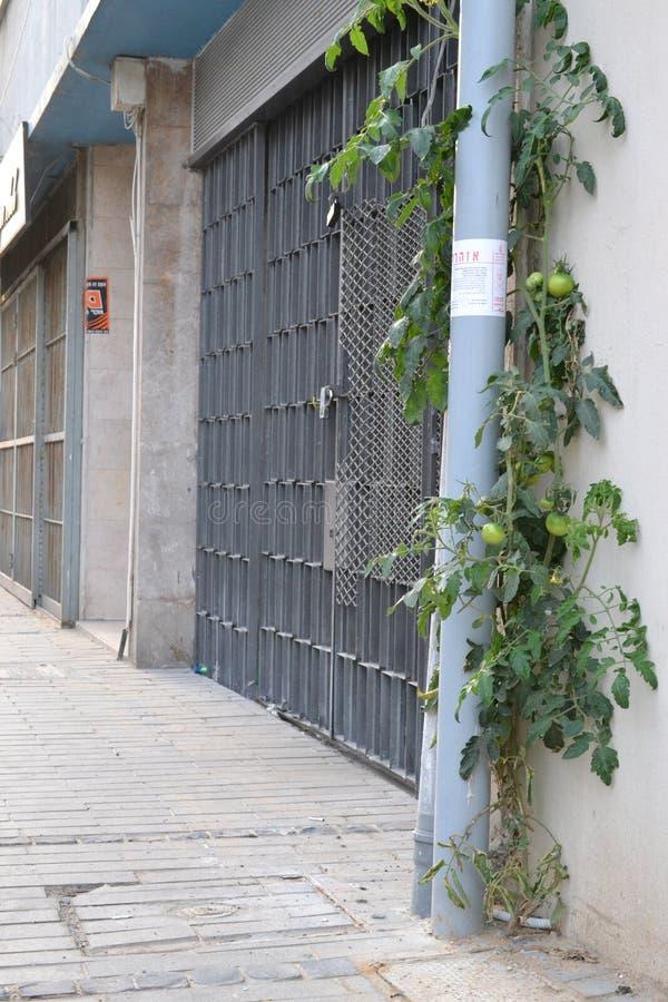 Kleine Tomatenpflanze, die an der Straßenseite in Haifa-Stadt, Stadtzentrum, Israel wächst stockbild