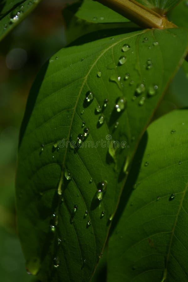 Kleine kleine Tröpfchen gesehen auf einem grünen Blatt stockfoto
