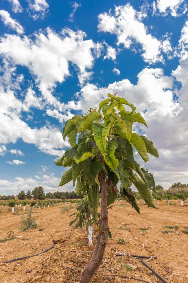 Kleine treesPrunusavium 'Robijn 'van de kersenaanplanting royalty-vrije stock foto