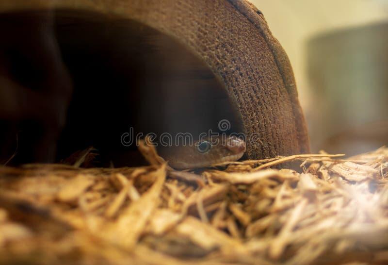 Kleine tuinslang die uit van een holle fauxstomp gluren stock foto's