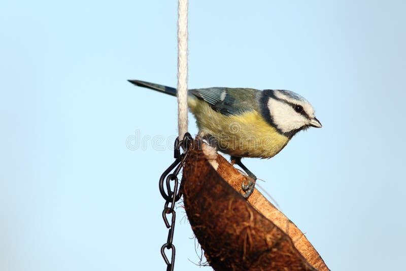 Kleine tuinvogel royalty-vrije stock foto's