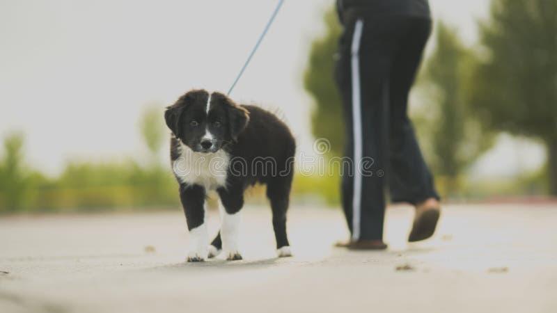 Kleine und schwarze Grenz-Welpe Spaziergang neben der Person in Gleispferden stockfoto
