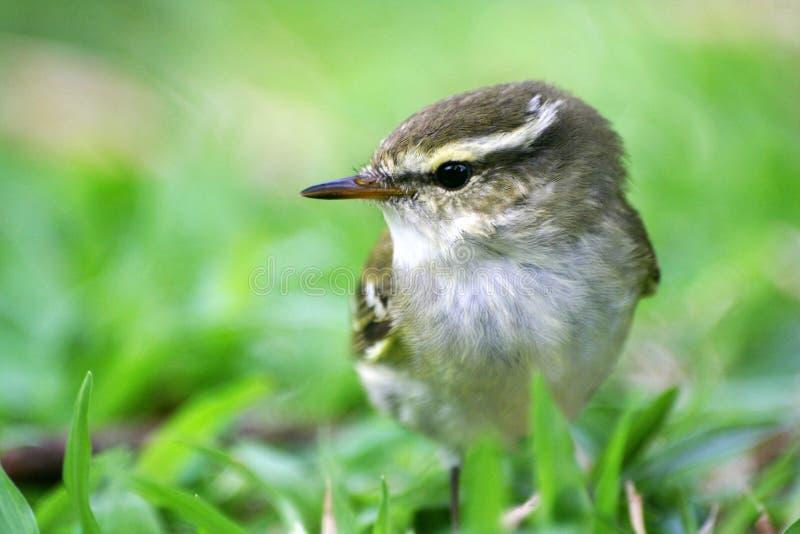 Kleine Vögel, Gelb-browed Laubsänger lizenzfreies stockfoto
