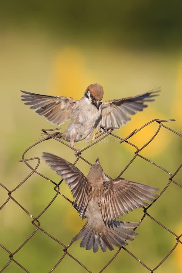 Kleine Vögel Sind, Kämpfend Sitzend Und Mit Drahtzaun Stockfoto ...