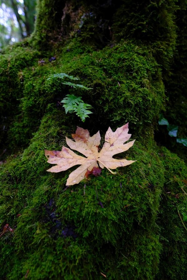 Kleine varen en bruin blad op een bemoste stomp in het bos royalty-vrije stock foto's