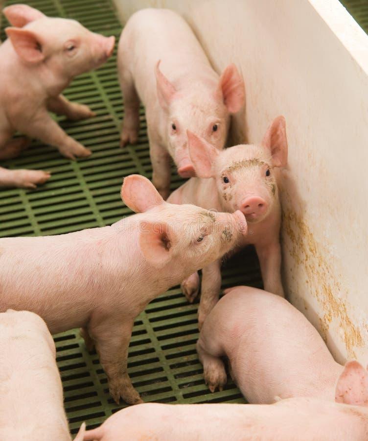 Kleine varkens stock foto's
