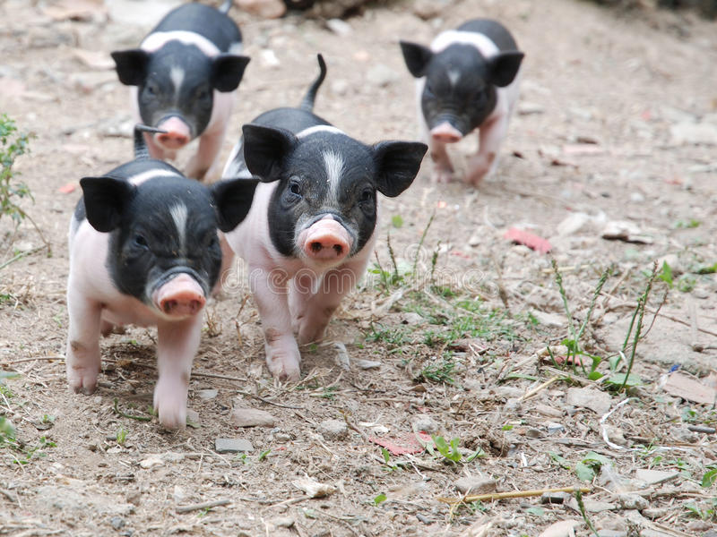 Kleine varkens stock fotografie