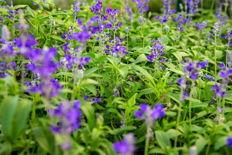 Kleine violetbloemen in groengras, botanische tuinfoto's dichtbijgezet Heren florale abstractie Zomentuin royalty-vrije stock afbeelding