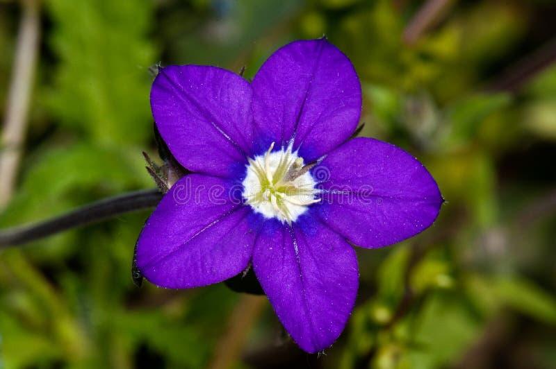 Kleine violette bloem royalty-vrije stock afbeelding