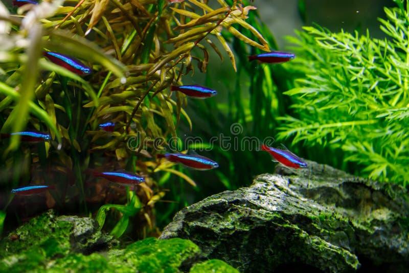 Kleine vissen in aquarium op een groene achtergrond stock foto