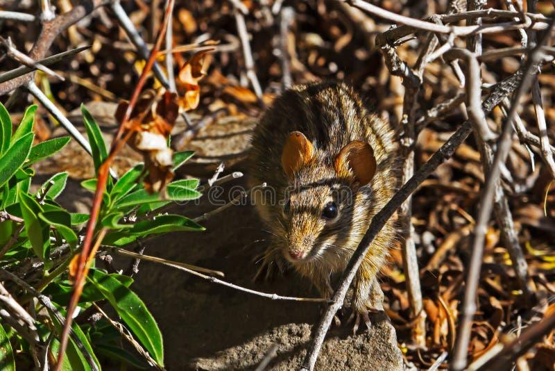 Kleine viziermuis met vier strips op rots stock fotografie