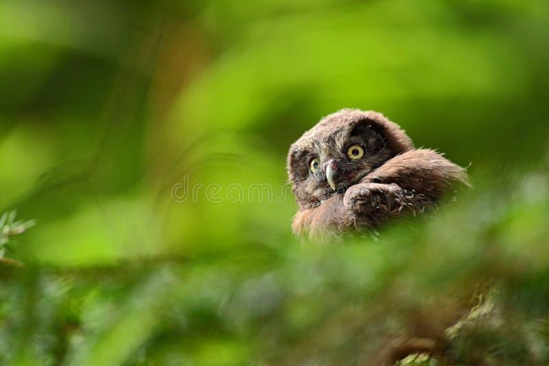 Kleine vogel Boreale uil, Aegolius-funereus, die op de boomtak zitten op groene bosachtergrond, jongelui, baby, welp, kalf, jong, royalty-vrije stock foto's