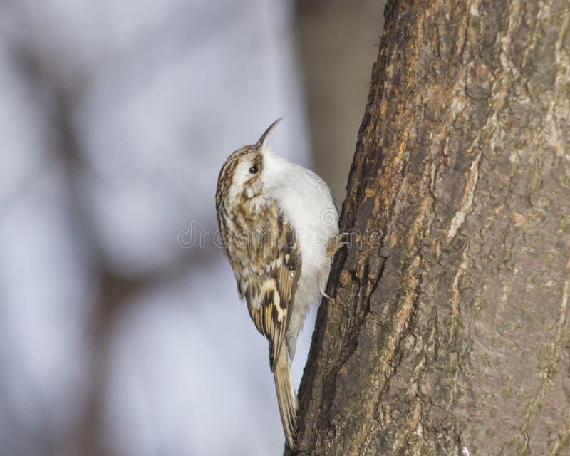 Kleine vogel Europees-Aziatische of Gemeenschappelijke Treecreeper, Certhia-familiaris, close-upportret op boom met bokehachtergr royalty-vrije stock fotografie