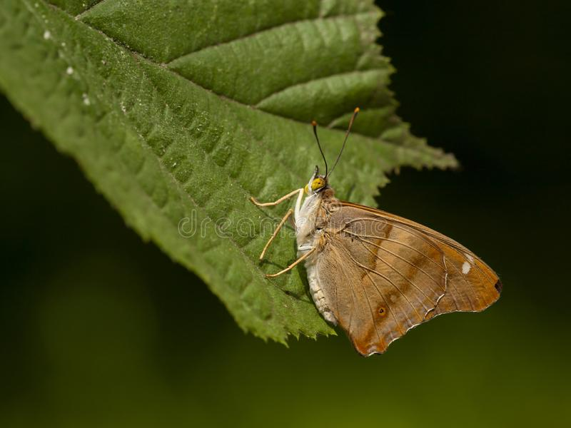 Kleine weerschijnvlinder, Lesser Purple Emperor stock afbeeldingen