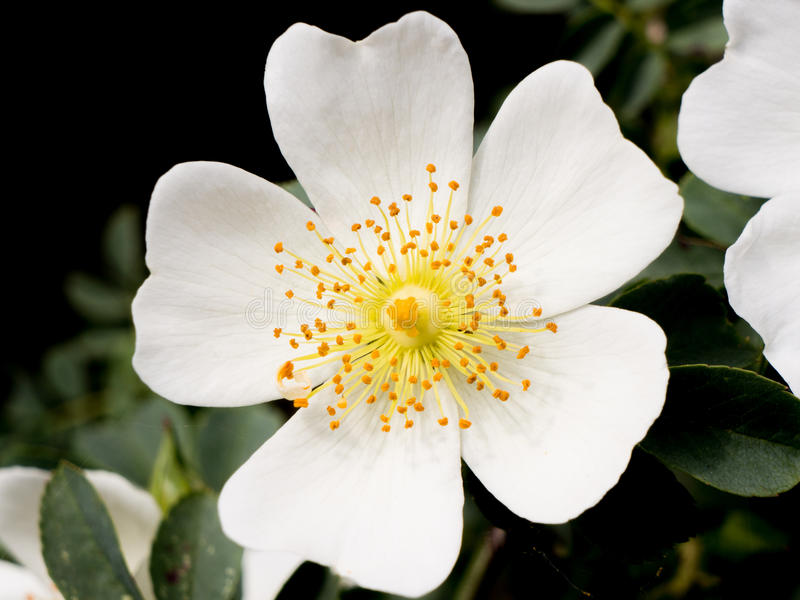 Kleine weiße Blume stockfoto. Bild von gelb, floral, weiß - 44833896