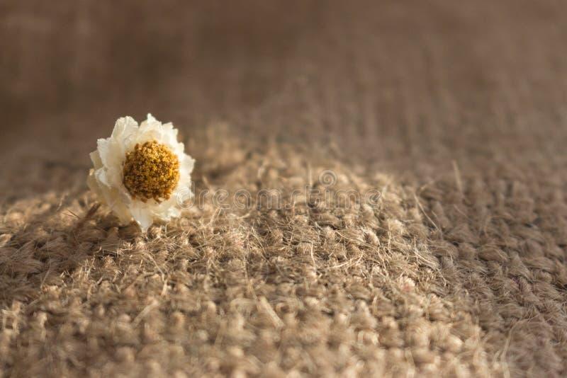 Kleine weiße Blume im Sonnenlicht auf rauem strickendem Hintergrund Blütenkonzept Beige strickende Beschaffenheit Rogh lizenzfreies stockfoto