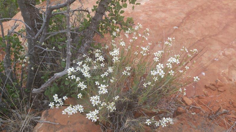 Kleine weiße Blumen auf einem Busch lizenzfreie stockfotos