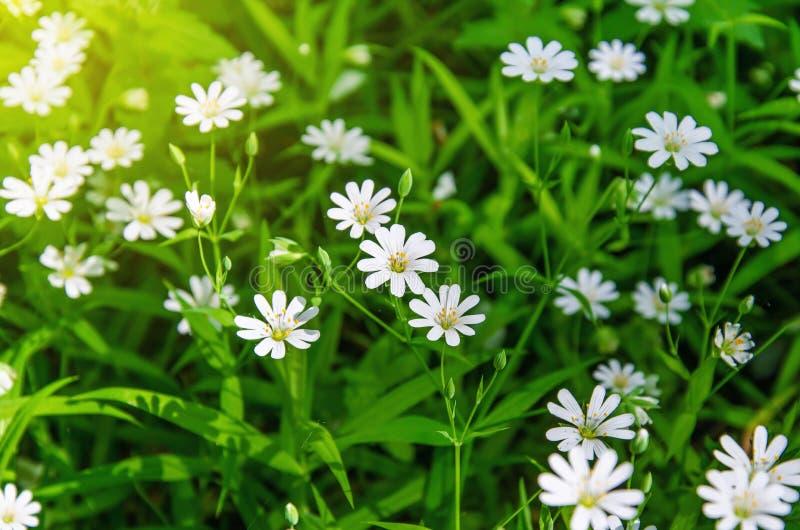 Kleine weiße Blumen der Anemone, im Frühjahr Wald lizenzfreie stockbilder