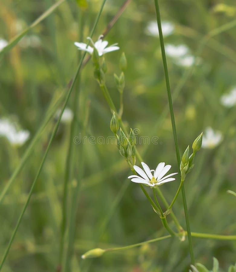 Kleine Weiße Blumen An Der Wiese Stockbild - Bild von getrennt ...