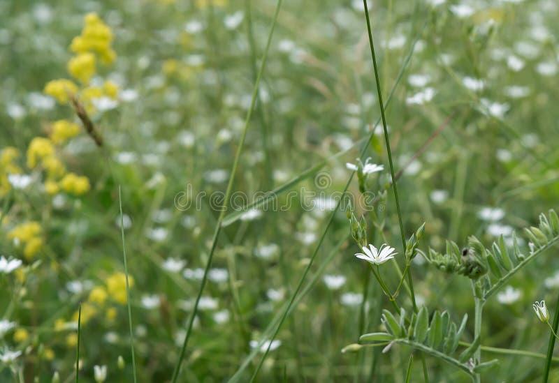 Kleine Weiße Blumen An Der Wiese Stockfoto - Bild von petite, garten ...
