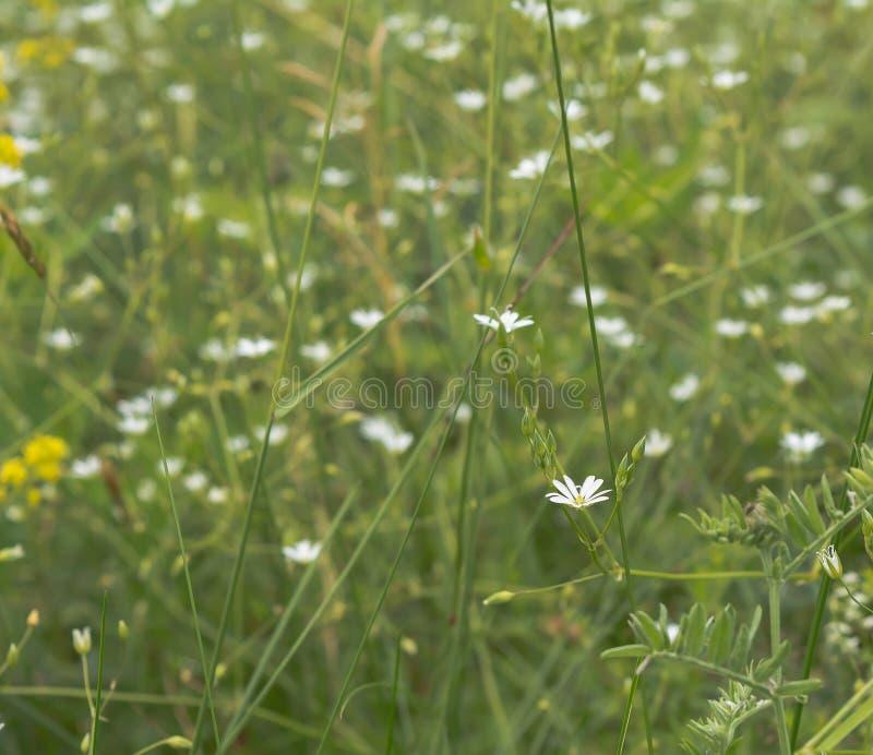 Kleine Weiße Blumen An Der Wiese Stockbild - Bild von wenig, flora ...